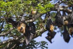Indian Flying-fox in Tissamaharma, Sri Lanka Royalty Free Stock Photography