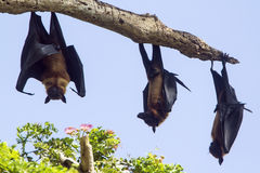 Indian Flying-fox in Tissamaharma, Sri Lanka Stock Photo