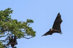 Indian Flying-fox in Tissamaharma, Sri Lanka Stock Photography