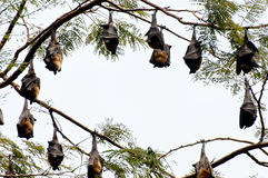 Indian Flying Foxes - Sri Lanka Royalty Free Stock Photo