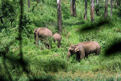 Indian forest elephants. Wild Indian elephants in the forest royalty free stock images