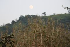 INDIAN FOREST GRASS WITH MOON