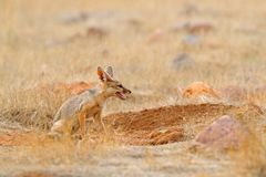 Indian Fox, Bengal Fox, Vulpes bengalensis, Ranthambore National Park, India. Wild animal in nature habitat. Fox near nest ground stock photography