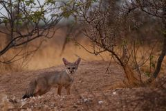 Indian fox Stock Photography