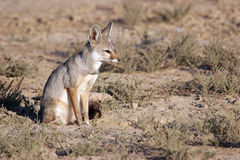 Indian fox sitting Royalty Free Stock Images