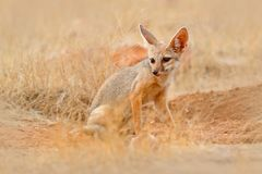 Indian Fox, Vulpes bengalensis, Ranthambore National Park, India. Wild animal in nature habitat. Fox near nest ground hole. Wildli Stock Photo