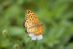 Indian Fritillary Butterfly close-up Royalty Free Stock Images