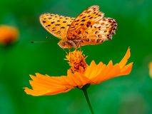 Indian Fritillary Butterfly on a cosmos flower 13. An indian fritillary butterfly feeds from an orange cosmos flower along a river in central Kanagawa Prefecture stock photo