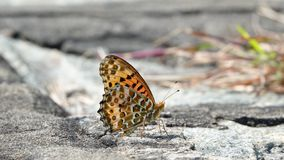 Indian Fritillary royalty free stock image
