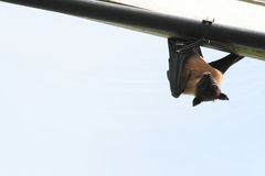 Indian Fruit Bat Also Known As Flying Fox Royalty Free Stock Image