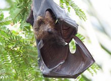 Indian Fruit Bat sleeping Stock Photos