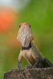 Indian garden lizard Stock Photo