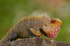 Indian garden lizard Royalty Free Stock Images