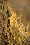 Indian garden lizard Royalty Free Stock Photography