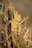 Indian garden lizard Royalty Free Stock Photos