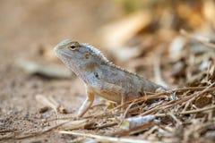 Indian garden lizard Stock Images