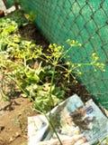 Indian garden yellow flower stock image