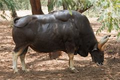 Indian gaur Royalty Free Stock Image