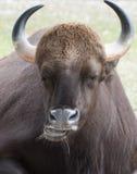 Indian Gaur Close Up Stock Image