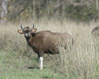 Indian Gaur  Grazing in forest grassland. At Tadoba Andhari Tiger Reserve  in summers Stock Photos
