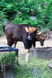 Indian Gaur the Largest species of wild cattle Stock Photo