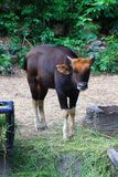 Indian Gaur the Largest species of wild cattle Stock Photography