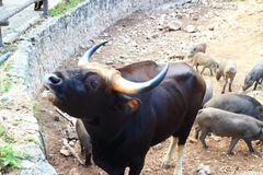 Indian Gaur the Largest species of wild cattle Stock Photos