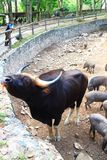 Indian Gaur the Largest species of wild cattle Royalty Free Stock Photography
