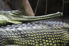 Indian gavial Royalty Free Stock Photo