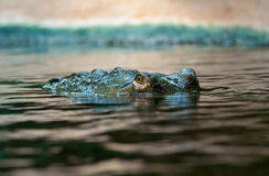 Indian gavial Stock Image