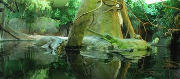 Indian gavial Stock Images