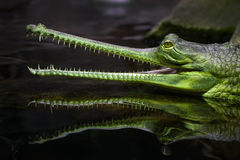 Indian Gavial Stock Photos