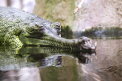 Indian gavial Royalty Free Stock Photography