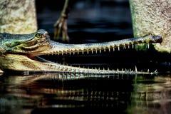 Indian gavial Royalty Free Stock Photo
