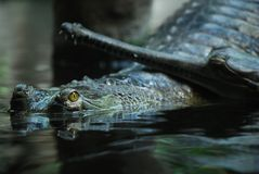 Indian gavial (Gavialis gangeticus) Royalty Free Stock Photography