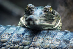 Indian gavial (Gavialis gangeticus) Stock Photo