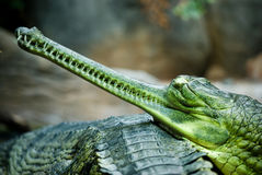 Indian gavial (Gavialis gangeticus) Stock Photos