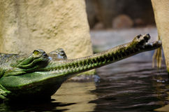 Indian gavial , Gavialis gangeticus Stock Photos