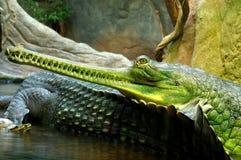 Indian gavials 2 Royalty Free Stock Photo