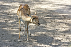 Indian Gazelle Royalty Free Stock Photos