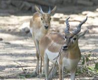Indian Gazelle Royalty Free Stock Photo