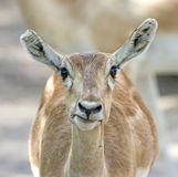 Indian Gazelle Stock Image