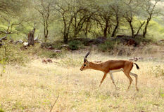Indian gazelle Royalty Free Stock Image