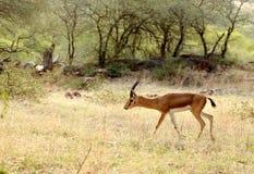 Indian gazelle. Deer (chinkara) in their natural habitat Royalty Free Stock Image