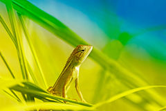 Indian gecko inside a bush looking out Royalty Free Stock Photos