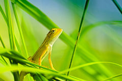 Indian gecko inside a bush looking out Stock Image