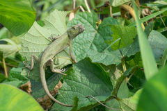 Indian gecko inside a bush looking out Royalty Free Stock Photography