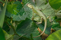 Indian gecko inside a bush looking out Stock Photography