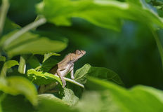Indian gecko inside a bush looking out ,  Kolkata, India Stock Images