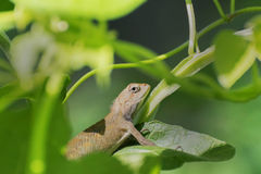 Indian gecko inside a bush looking out ,  Kolkata, India Royalty Free Stock Photography